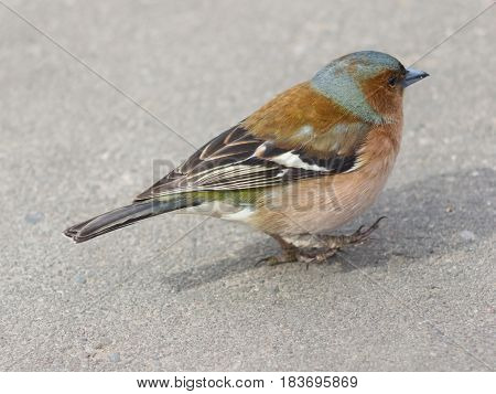Male Common Chaffinch Fringilla coelebs close-up portrait walking on road selective focus shallow DOF.