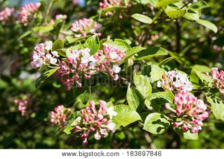 A branch of a blossoming spring tree in a botanical garden. Macro flowers photography, natural floral background.