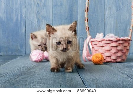 White kittens with pink wool ball and straw basket play at blue wood background. Small funny cat.