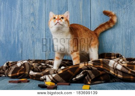 Ginger cat look up on plaid blanket at blue wooden background. Red orange cat with white chest portrait.