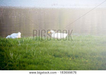Domestic ducks to the river. White domestic ducks
