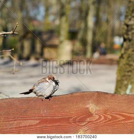 Sparrow on a fence in spring in Magdeburg