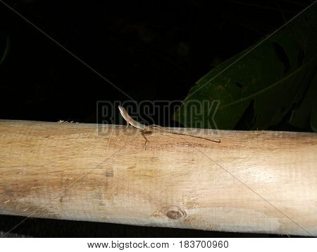 Lizard on wood trunk in forest and jungle at night