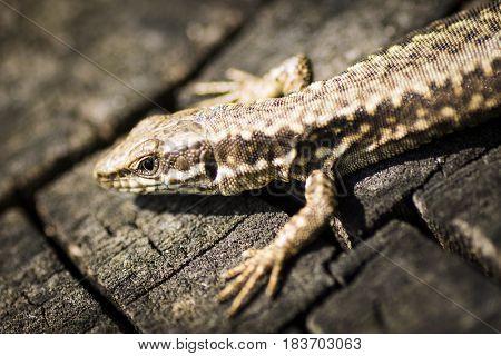 Macro photo about a lizard animal portrait.