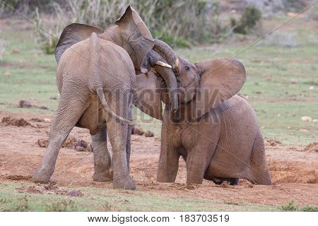 Two African elephants play fighting and testing each others strength