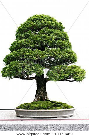 Japanese Evergreen Bonsai