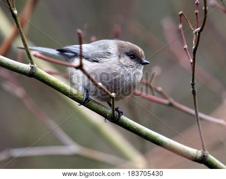 A Bushtit perched on a branch with reddish twigs