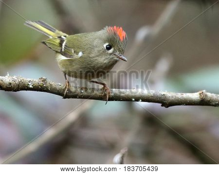 A Ruby-crowned Kinglet Perched on a Branch