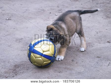 Puppy of the pet dog plays with ball on background of the land