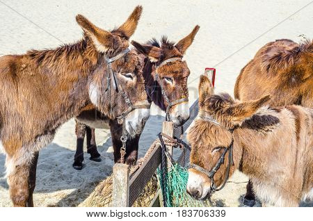 Four gorgeous domesticated asses asses in a harness strapped to a wooden beam animals