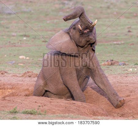African elephant enjoying a rubbing session is a sandy furrow