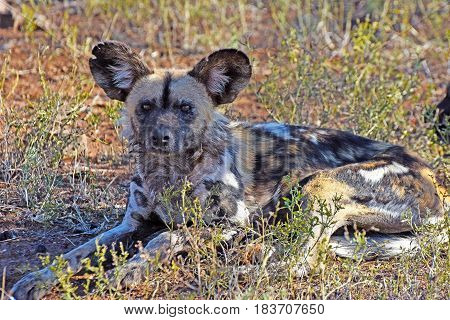 Picture of an African wild dog in Madikwe game reserve, South Africa,