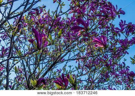 Closeup shot of blossoms on a Tulip Tree.