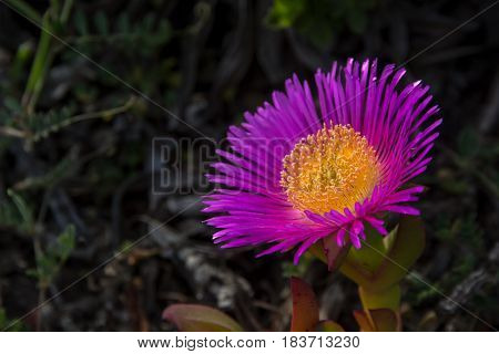Carpobrotus edulis purple and yellow flower macro agaisnt a blury green