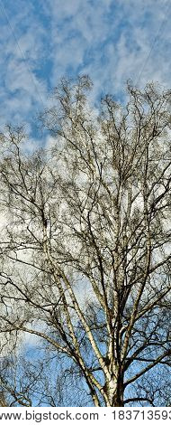 leafless Birch tree in winter and blue sky