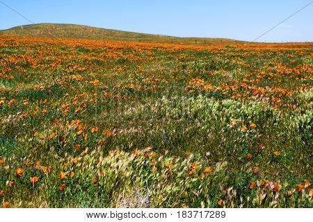 Lush green windswept grasslands with Poppy Wildflowers taken on a rural field in Central California