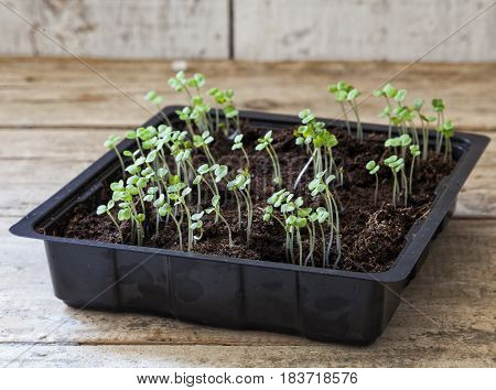 Rocket seedlings in a black tray on a wooden table