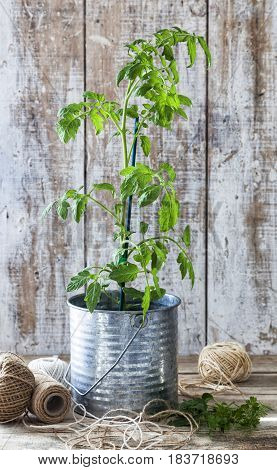 Preparing an urban vegetable garden: tomato plant in a tin pot on a wooden table.