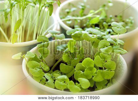 Basil seedlings in a pot on a table in an urban garden.