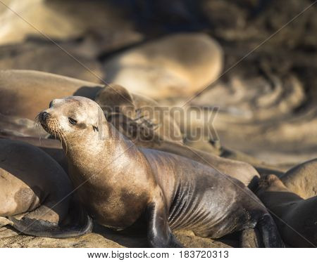 Adorable Young California Sea Lion (Zalophus californianus) on the rocks in La Jolla, California, USA Posing for the Camera