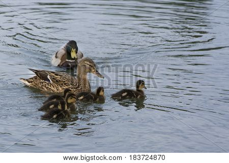Duck mother with chicks swimming in the lake