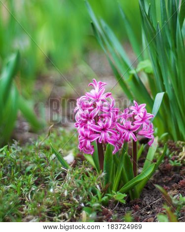 Spring Hyacinth Flowers