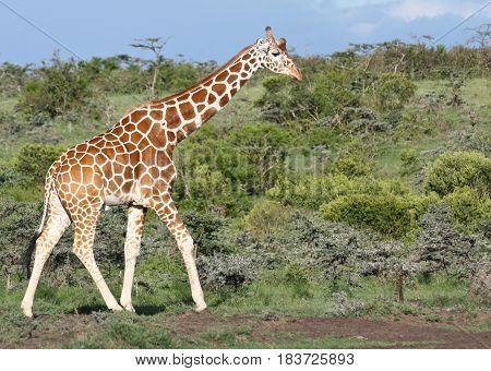 Reticulated giraffe walking against green bushy background