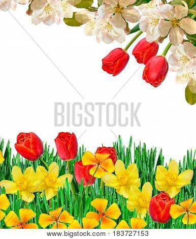 spring flowers tulips isolated on white background. daffodil