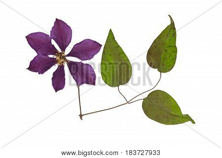 Pressed and dried flower clematis with green leaves. Isolated on white background. For use in scrapbooking floristry (oshibana) or herbarium.
