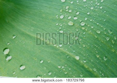 Water drops on a green tulip leaf. Floral background