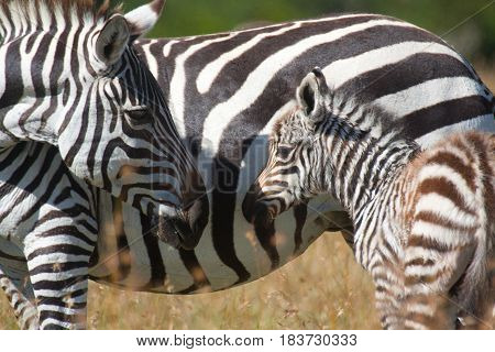 A plains zebra mare looks lovingly at her newborn foal