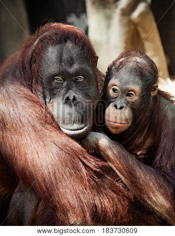 The orangutan with a cub redhead, hairy close with sad eyes portrait