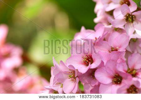 Closeup of beautiful pink Bergenia cordifolia flowers (Elephant's ears Badan)