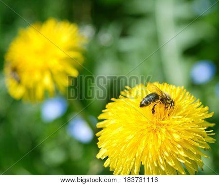 Honey bee collecting pollen on yellow dandelions