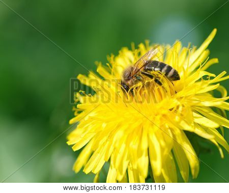 Closeup of a honey bee collecting pollen on a yellow dandelion