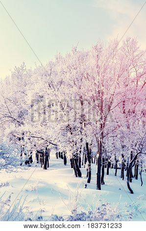 Winter landscape in cloudy evening - winter forest grove with row of snowy winter trees. Creative filter applied. Colorful winter nature view of winter trees in winter forest covered with snow