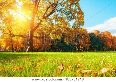 Autumn park background. Autumn picturesque tree in sunny autumn park lit by sunlight -autumn tree in sunshine. Sunny autumn landscape of autumn park with golden autumn trees. Autumn park nature in soft sunny light