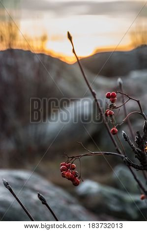 Red berries in front of sunset scenery orange with big rocks blurred