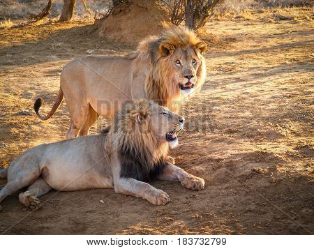 Male lions together one standing one lying in shade
