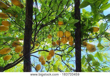 a Lemon garden in Sorrento Naples Italy