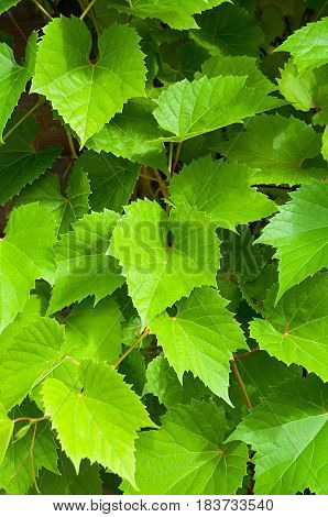 Nature summer background of grape leaves - in latin Vitis. Colorful green grape leaves in the garden. Fresh leaves of grape - closeup nature background of green grape leaves.