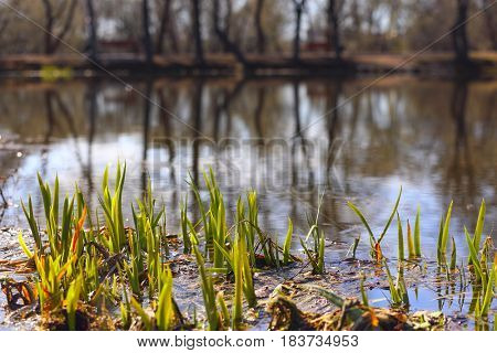 Coast of a lake in a spring with a rush in a frontground