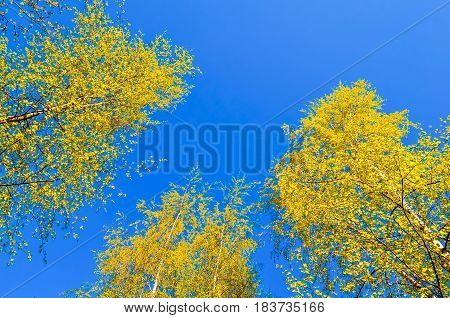 Yellowed tops of autumn forest trees with autumn yellow leaves extending to the blue sky in autumn day - autumn landscape lowest point shooting. Autumn nature background