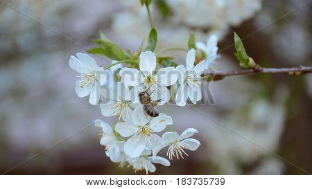 Worker bee flying over the cherry blossom. HD video footage 1080p