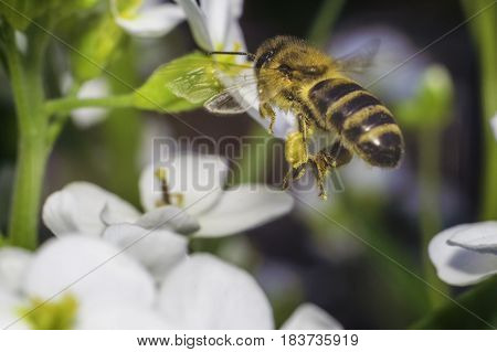 bee fly to the white flower in sunny day of spring