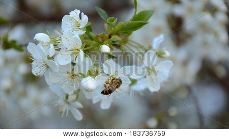 Branch of blossoming apple tree with bee collecting pollen from flowers