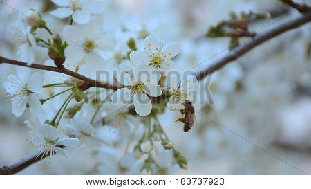 Bee pollinating cherry tree in the spring garden. HD video footage 1080p
