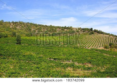 Vineyards in the Crimea. Summer landscape with a lonely tree.