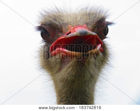 Potrait of Colombia Male Ostrich on Display in Natural Setting. The Ostrich or Common Ostrich (Struthio camelus) is either one or two species of large flightless birds native to Africa