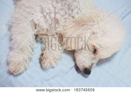 White Sleeping Dog